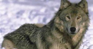 Abbiamo bisogno di voi per difendere il lupo