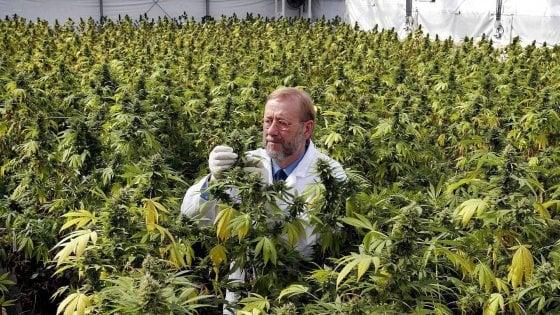 """Cannabis terapeutica: """"La Lombardia favorisca lo sviluppo delle coltivazioni"""""""