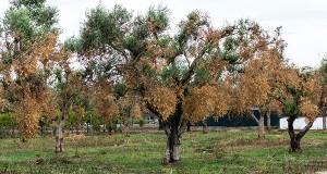 Xylella e TAP, le piante si possono spostare? Quali garanzie per il territorio?